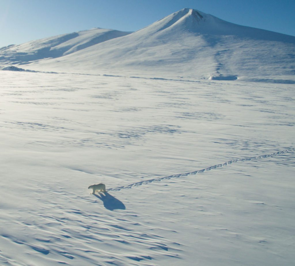 Dronefoto. Isbjørnen var faktisk ret nysgerrig og gik henimod os da den så os. Men på ca. tohundrede meters afstand kunne den godt se, at vi ikke var dens livret, som er sæl, og vendte om. Foto: Kenneth Jensen.
